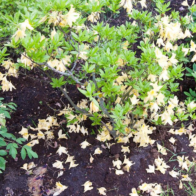 yellow rhododendron. Lviv botanic garden. Ukraine
