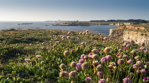 Sea Pinks at Point Arena