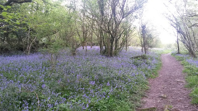 bluebells and path