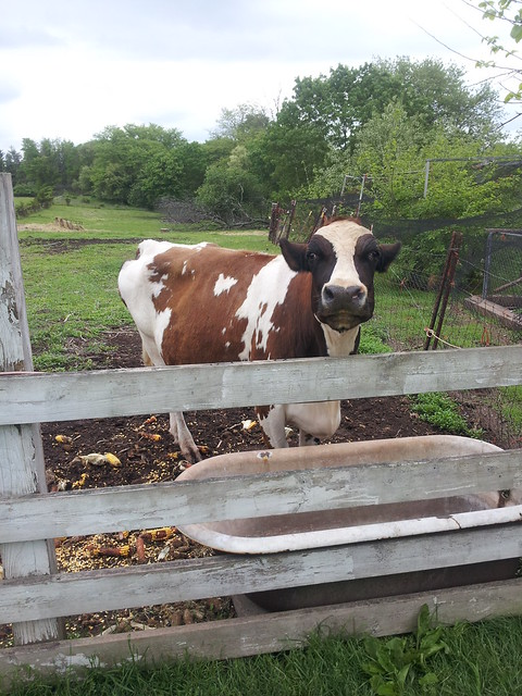 Idyllic Cow
