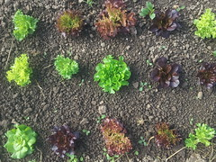 head lettuce on its way