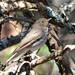 DSC_2673 Swainson's Thrush (Catharus ustulatus) Saddleback Mt June 1 2014 MJGood