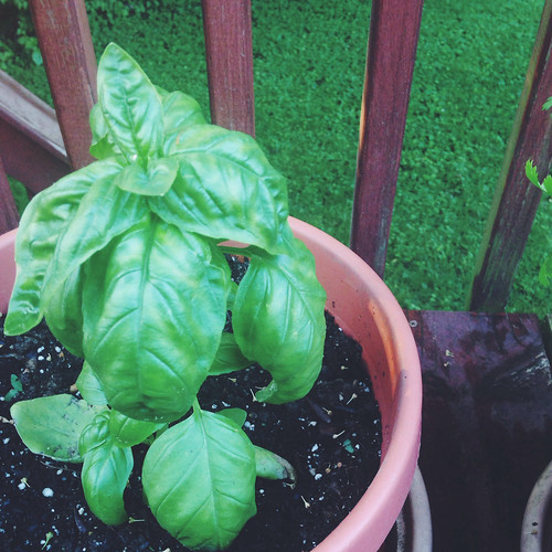 Porch Basil