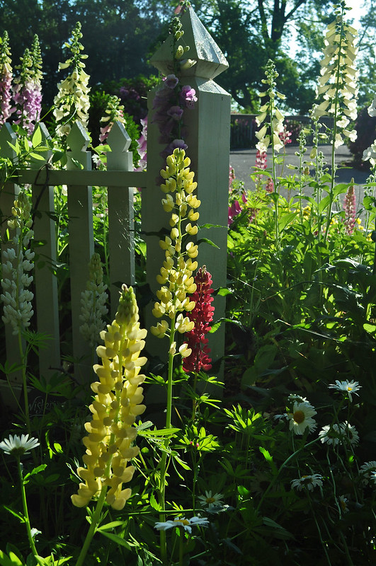 Lupinus 'The Chatelaine' (7)