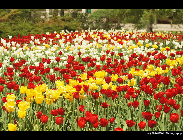 Tulip Festival at Major's Hill Park