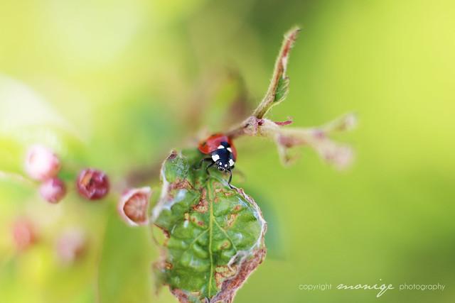 ladybug, oh ladybug