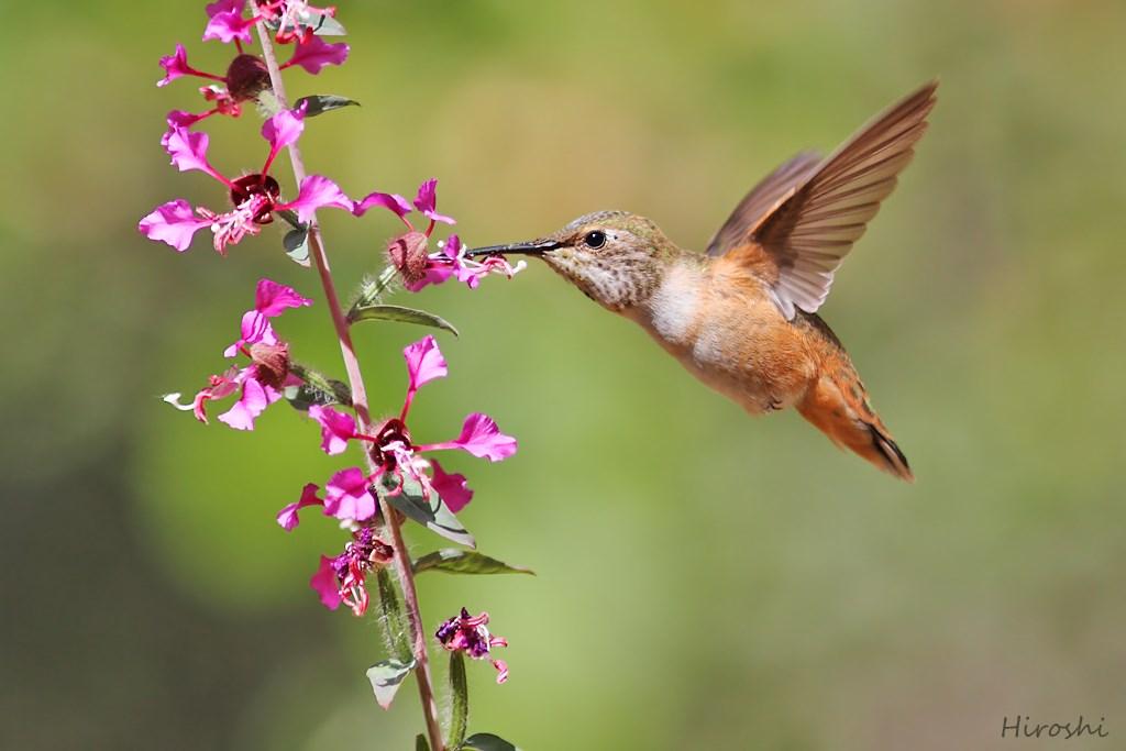Allen's Hummingbird 170614