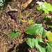 Small photo of Salal blossom