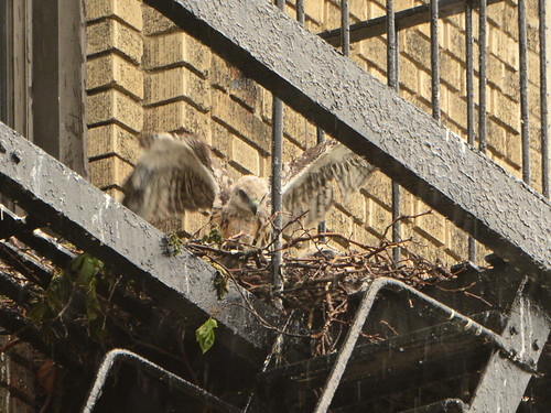 JHW Hawk Nest (0483)