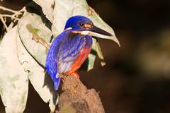Azure Kingfisher 130625 Alcedo azurea