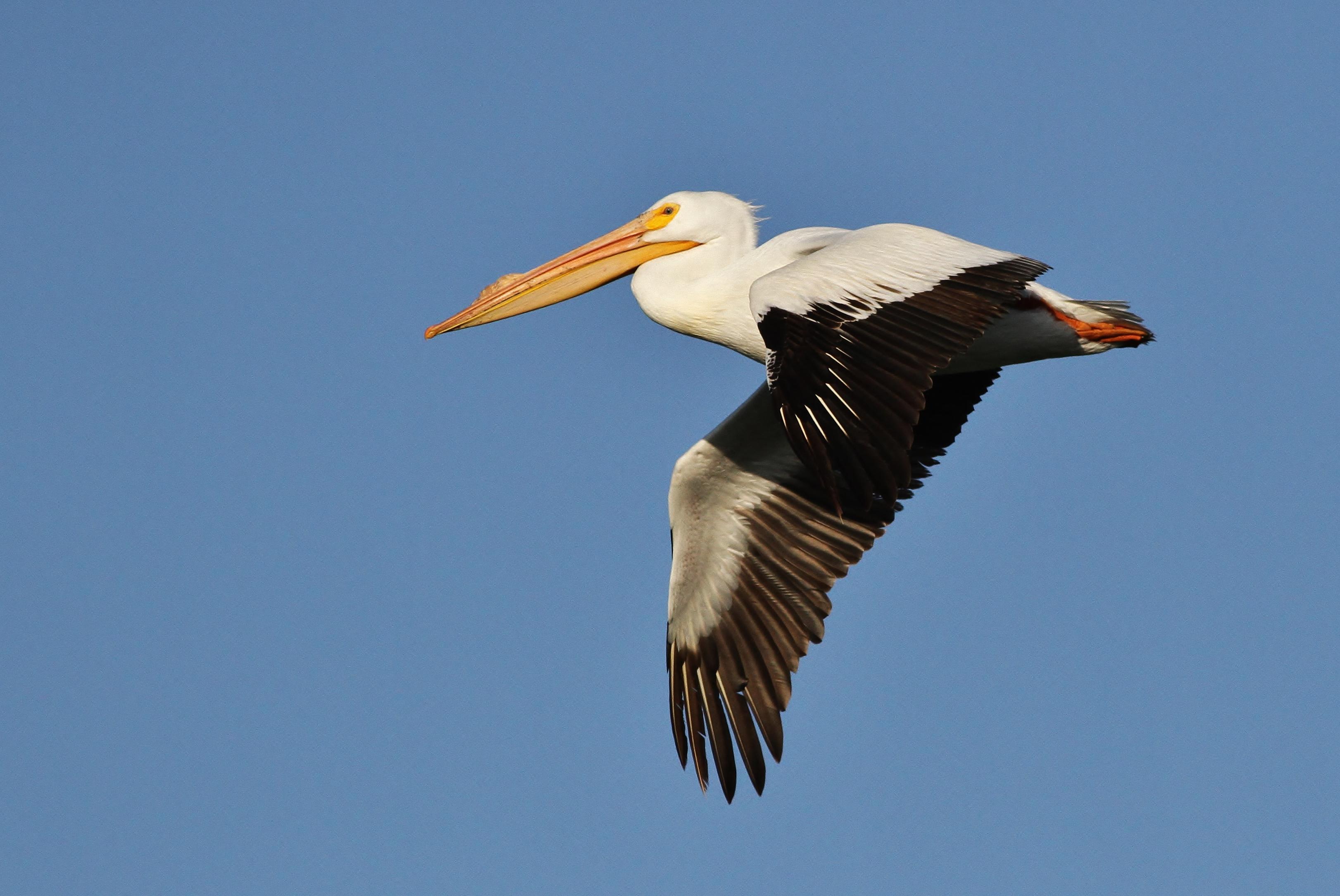 American White Pelican--Idaho
