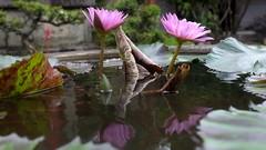 Video: Water lilies, Lian Shan Shuang Lin Monastery Singapor