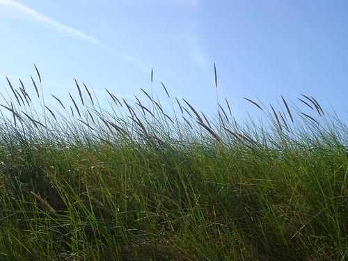 Dünengräser Amrum