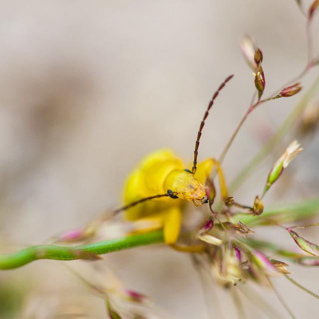 [093] Sulphur Beetle