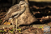 One very smooth Bush Stone-Curlew by David de Groot