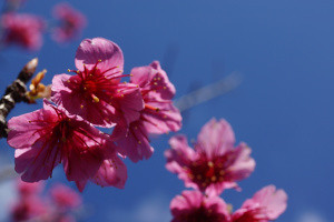 Japan's First Sakura: Close Up Blooms - Okinawa, Japan