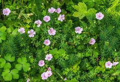 garden cosmos(0.0), geranium macrorrhizum(0.0), common tormentil(0.0), lawn(0.0), annual plant(1.0), flower(1.0), plant(1.0), wildflower(1.0), flora(1.0), meadow(1.0), geraniaceae(1.0),