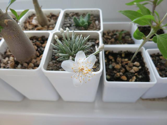 Avonia quinaria5690