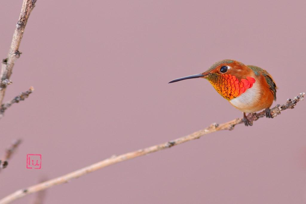 Allen's Hummingbird 220614-2