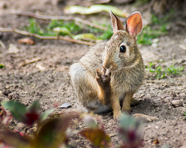 Rabbit, Bunny, Baby, Kit, Wild, Hare, Adorable, Cute