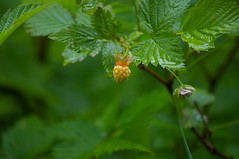 flower, branch, leaf, tree, plant, macro photography, flora, green, fruit, urtica, dewberry,
