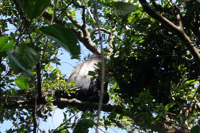 140625 Gorilla Silverback (1)