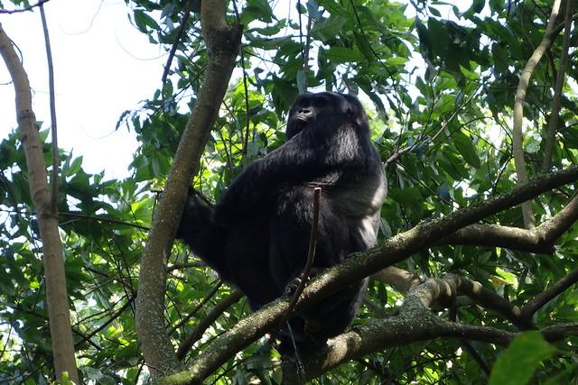 140625 Gorilla Silverback (9)
