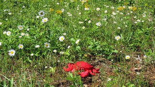 Day 201: Bowie Among a Field of Daisies