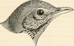 "Image from page 146 of ""A history of British birds, indigenous and migratory: including their organization, habits, and relations; remarks on classification and nomenclature; an account of the principal organs of birds, and observations relative to practi"