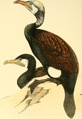 """Image from page 113 of """"Coloured illustrations of British birds, and their eggs"""" (1842)"""