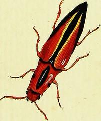 """Image from page 92 of """"Johann Euseb Voets Beschreibungen und Abbildungen hartschaaligter Insekten, Coleoptera Linn. Aus dem original Getreu übersetzt, mit der in selbigem fehlenden Synonymie und beständigen Commentar versehen"""" (1793)"""