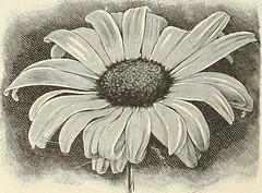 "Image from page 89 of ""Seeds, bulbs, plants"" (1908)"