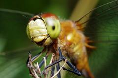Meadowhawk Dragonfly #6 (Super Happy!!)