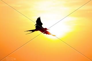BIRD MAGNIFICENT FRIGATEBIRD SURINAM AMAZONE SOUTH-AMERICA