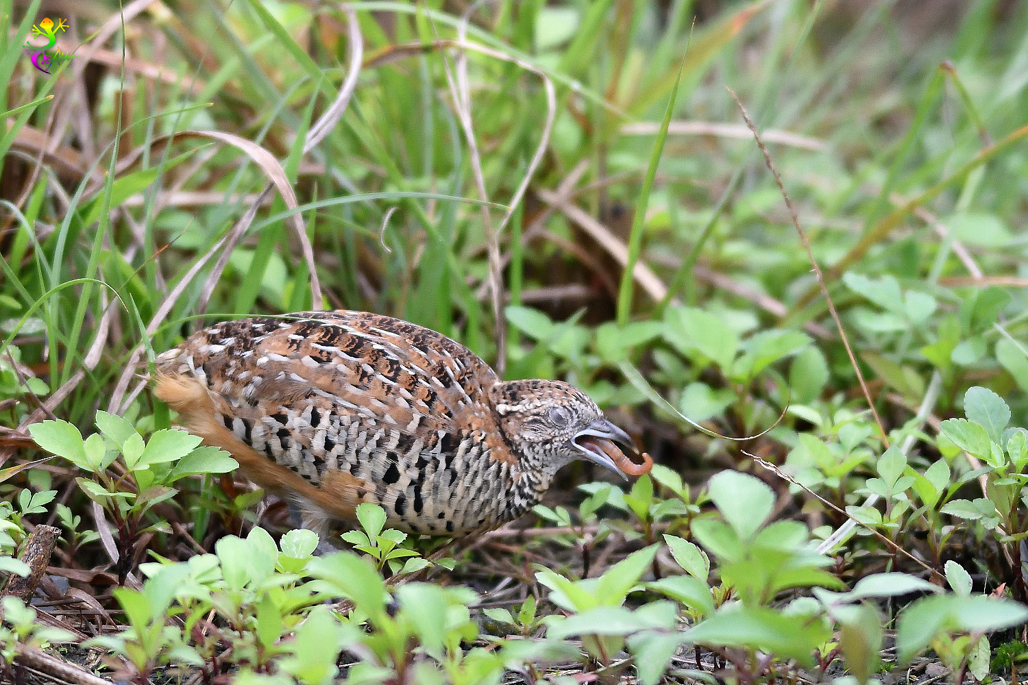 Barred_Buttonquail_9192