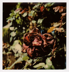 Decaying Rose