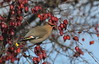 Jaseur boréal / Bohemian Waxwing
