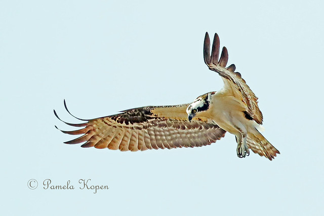 Osprey hover, Canon EOS-1D X MARK II, Canon EF 800mm f/5.6L IS