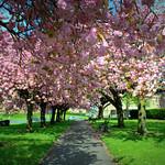 Cherry Blossom walk in Preston