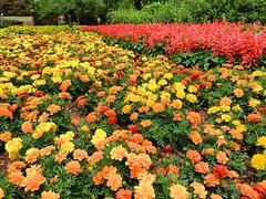 Marigolds at the Dallas Arboretum and Botanical Gardens, April 2017. #flowers #justgoshoot #dallasarboretum