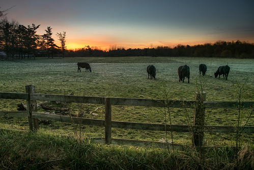 canoneos5dmarkiv cows sunrise field pasture fence campo trees amanecer michigan midmichigan midland green greengrass fencing east