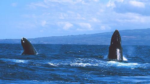 ikan paus humpback