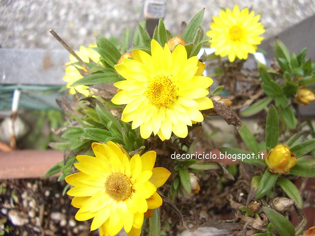 3. fiori del mio giardino - elicrisio-