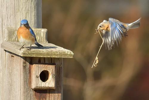Bluebirds 2014-04-06c
