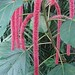 Small photo of Acalypha hispida, the Chenille Plant