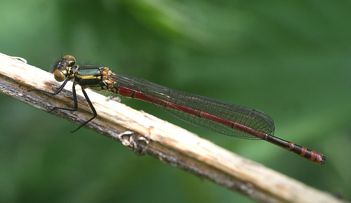 Large Red Damselfly Pyrrhosoma nymphula Tophill Low NR, East Yorkshire May 2014