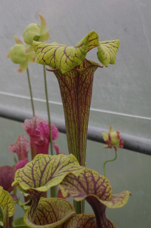 """Sarracenia Flava """"Red Tube Giant"""" Sumatra, Florida 13975789918_e207509d50_c"""