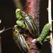 Larger tamarisk beetle