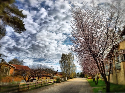 Cherrytrees in bloom