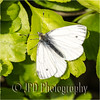 Green-Veined White by JPD Wildlife Photography